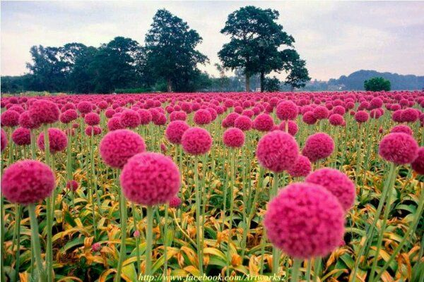 Incredible Color 100 Natural And So Gentle The Flower That You See In The Image It Looks Like The St Color Splash Photography Color Splash Pink Onion Flower