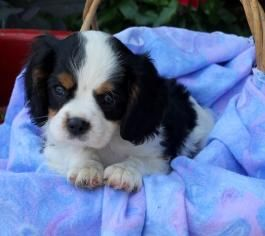 Cavalier King Charles Spaniel Puppies For Sale King Charles Cavalier Spaniel Puppy Cavalier King Charles Spaniel
