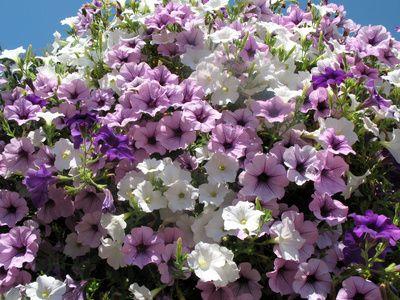 Qu plantas colgantes de exterior pueden soportar el sol - Plantas colgantes de exterior ...