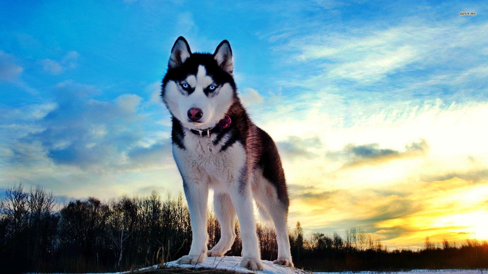 Siberian Husky Wallpapers Wallpaper Cave Сибирские хаски