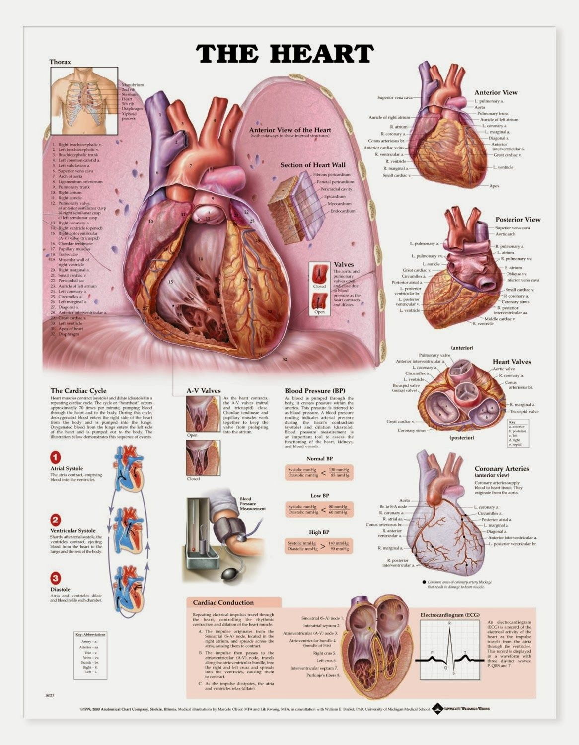 Anatomy Of The Human Body Heart | Anatomy Picture Reference and ...