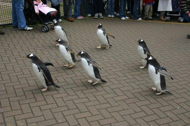 Edinburgh Zoo S Penguin Parade Edinburgh Zoo Silly Animals Penguins