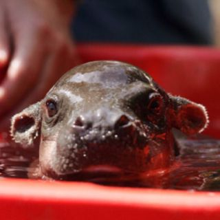 Baby hippo. A real one.