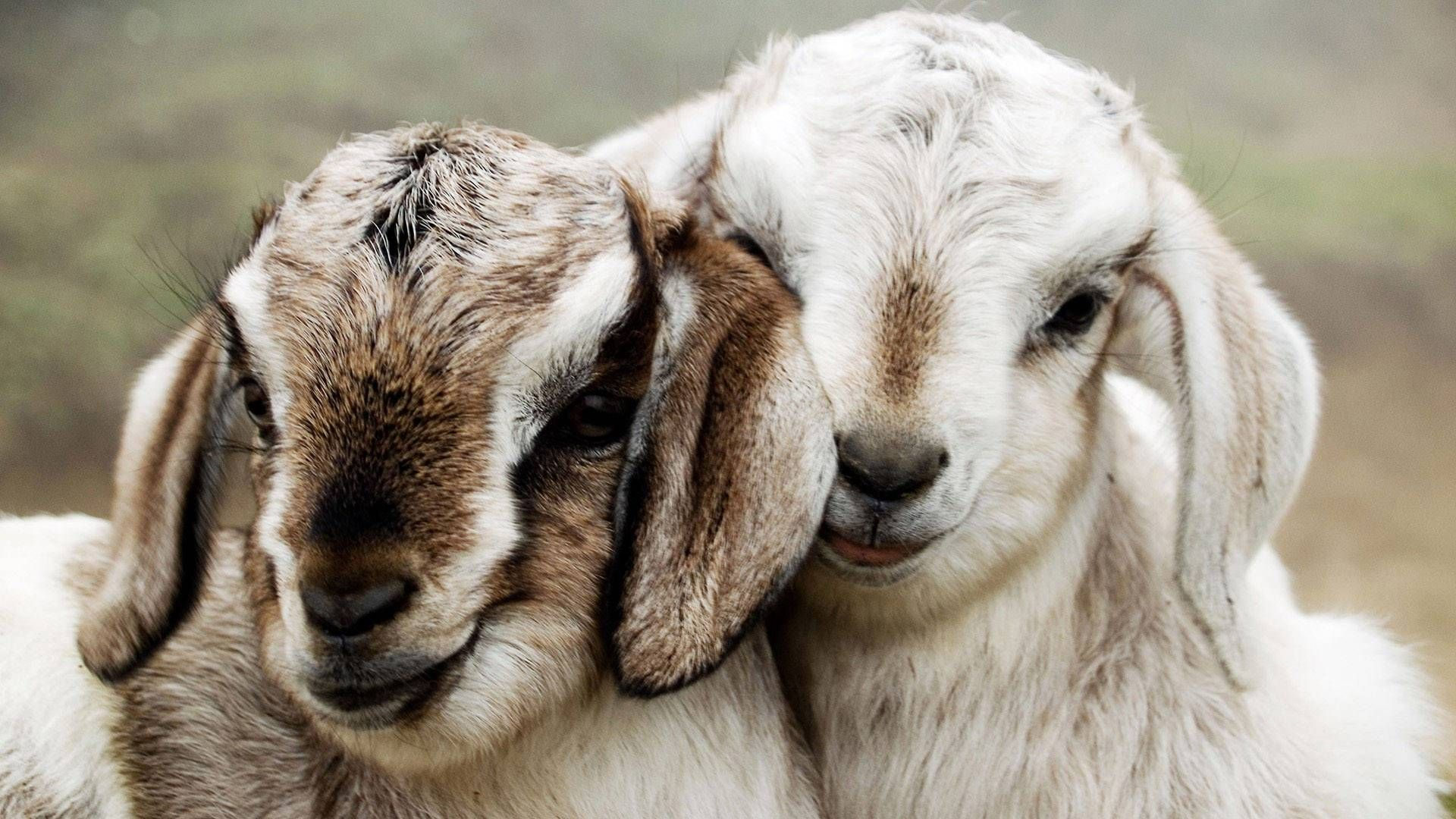 cute sheep wallpaper
