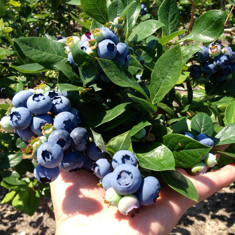 Обои черника, wood, berries, голубика, Blueberry. Еда foto 2