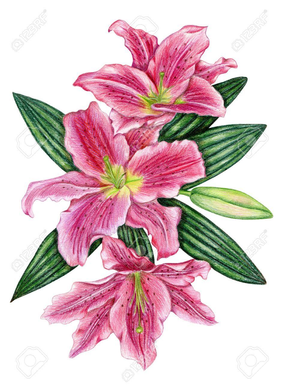 Flores de lis de color rosa a l piz con hojas fotos for Disegni di fiori a matita