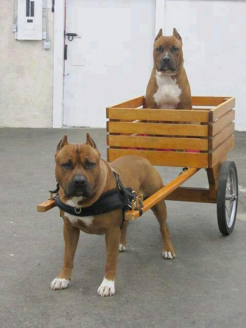 Pitbull Pulling A Pitbull Love The Wagon Could Have Used This