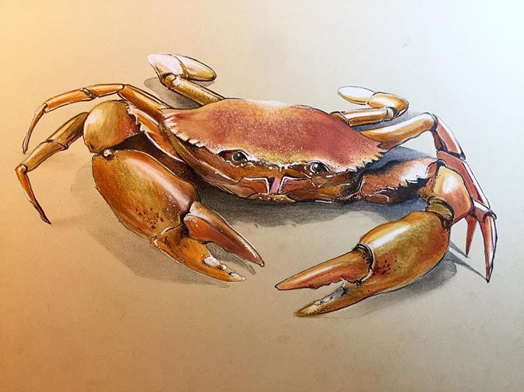 The Crab Here This Time With Colored Pencils Sketching Sketch Animal Drawing Illustration Animalart Art Sea Creatures Drawing Crab Art Animal Drawings