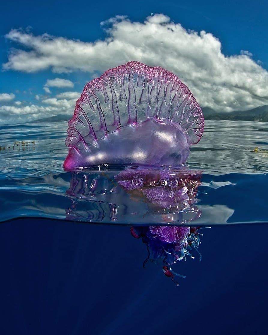 Картинки медузы португальский кораблик фото