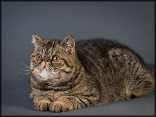 Black Mackerel Tabby Tabby Cat Tabby Cat Colors