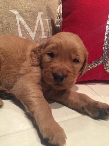 Golden Retriever Puppy For Sale In Louisville Oh Adn 22356 On