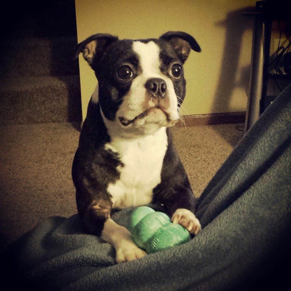It's hard to say no to that face! Boston terrier