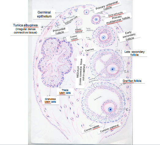 Histology Drawings Ovaries