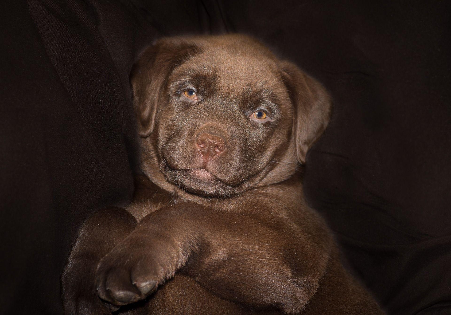 Labrador Braun 10 Fakten Die Sie Wissen Mussen Labrador Braun Hunde Labrador Retriever