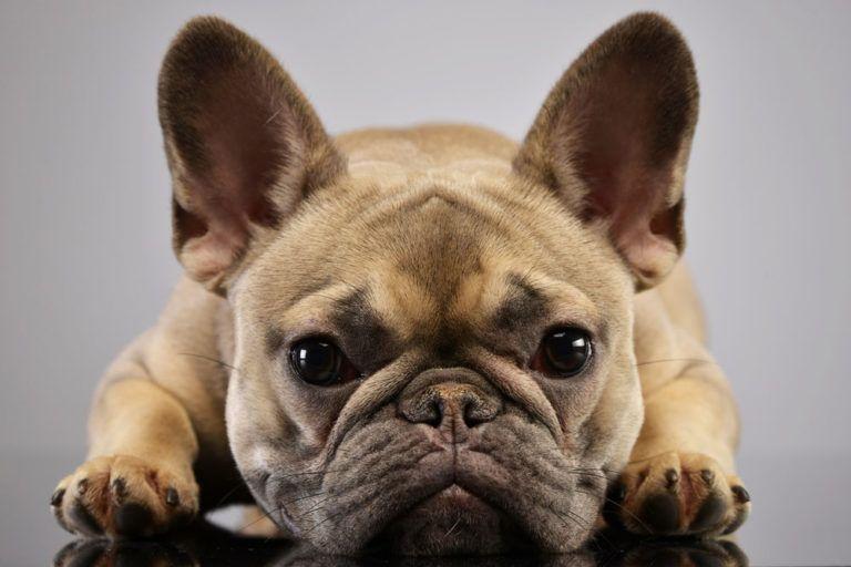 Frenchies Breeders Standards Wrinkly Dog French Bulldog Dog