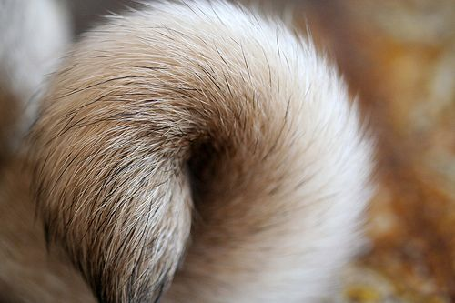 Pug Tail Pet Pug Pug Love Pugs Kisses