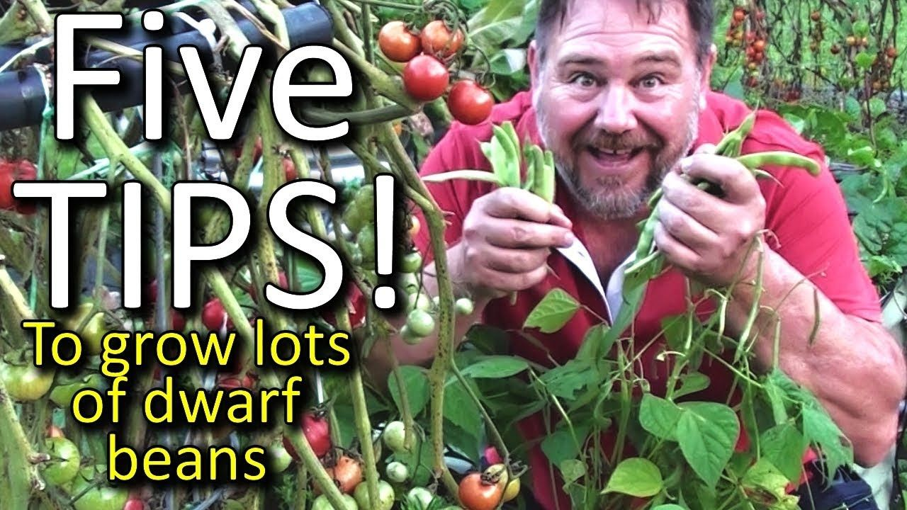 5 Top Tips How To Grow A Ton Of Dwarf Beans In A Small 400 x 300