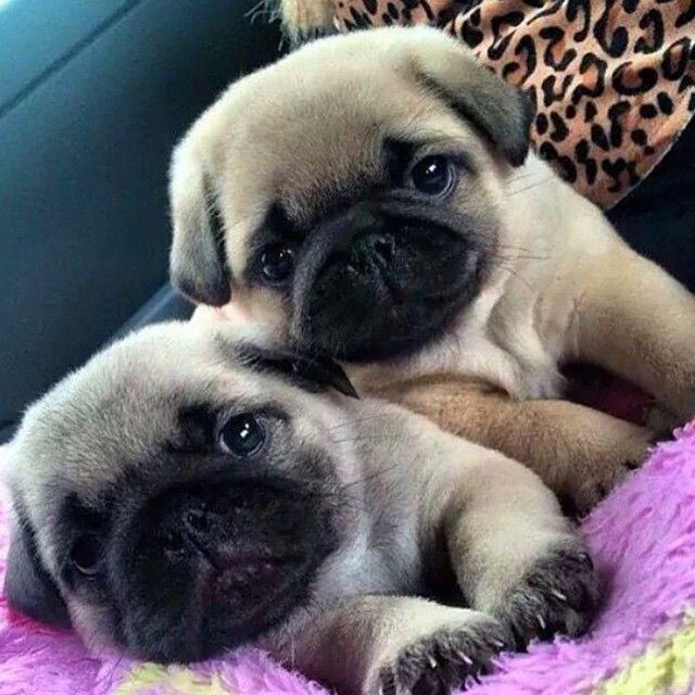 Pin By Lutine Ryan On Dogs And Cats Pug Puppies Price Baby Pugs