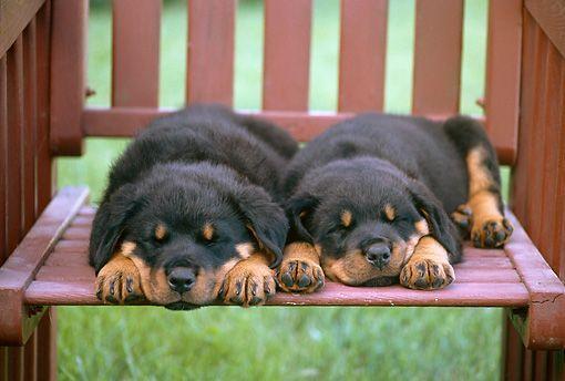 Resultado de imagen para rottweiler sleeping