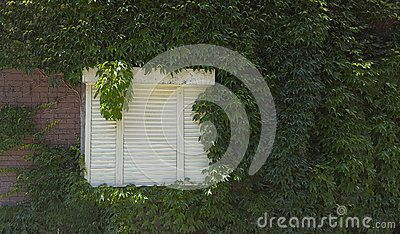 White shutters on weathered wall with vines.