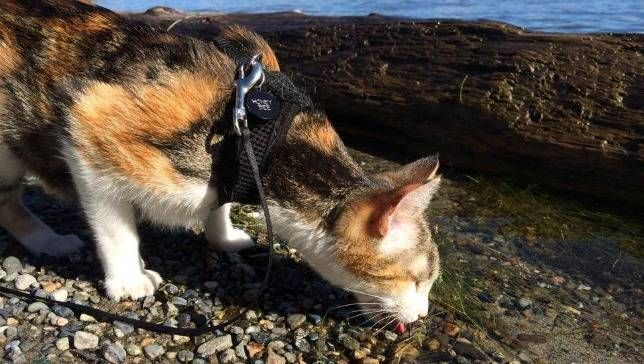 Dogs aren't the only pets that like to hike. Meet this amazing, trailblazing kitty!