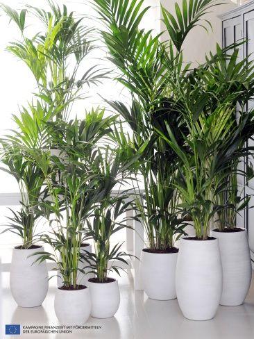 a chaque mois sa plante janvier le kentia green home pflanzen garten a zimmerpflanzen. Black Bedroom Furniture Sets. Home Design Ideas