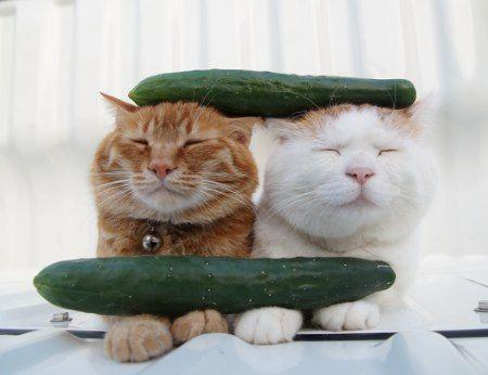 CAT_Cucamber Sandwich