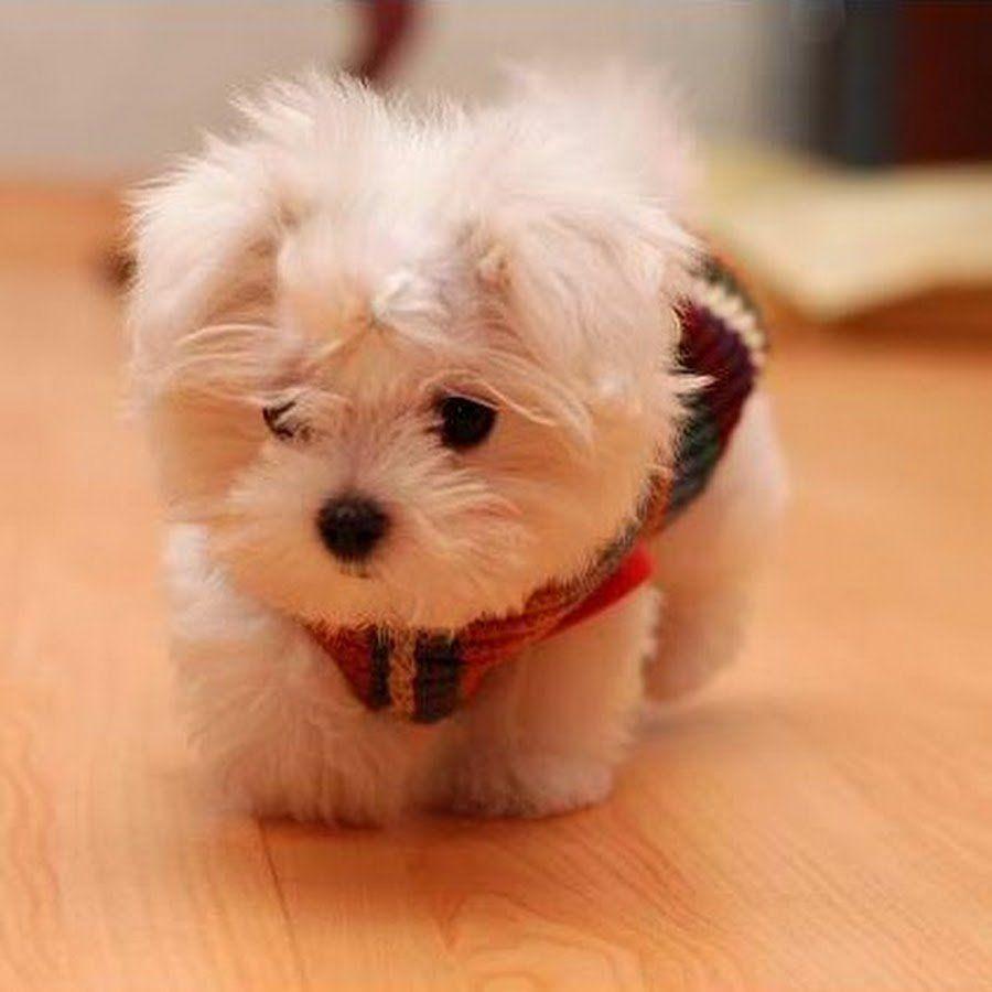 Perrito blanco con un suéter