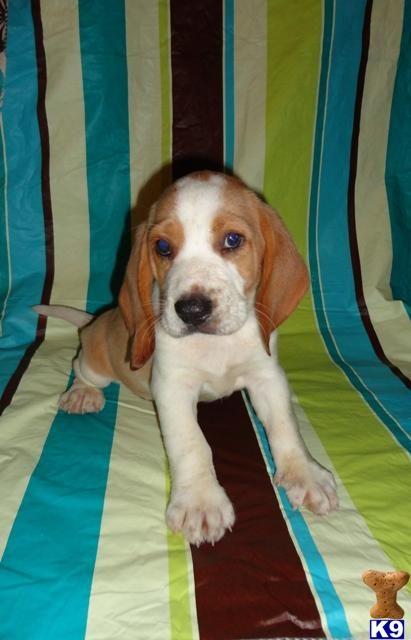 Akc Rare Lemon Pups Sale A Beagle Pup For Sale Located In Ina Il 62846 Beagle Puppy Beagle Pups For Sale Beagle