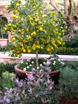Dwarf Lemon Tree In A Large Pot Tucked Into An Area With Other Plants Flowers Fill The Base Of The Pot Potted Trees Citrus Trees Planting Flowers