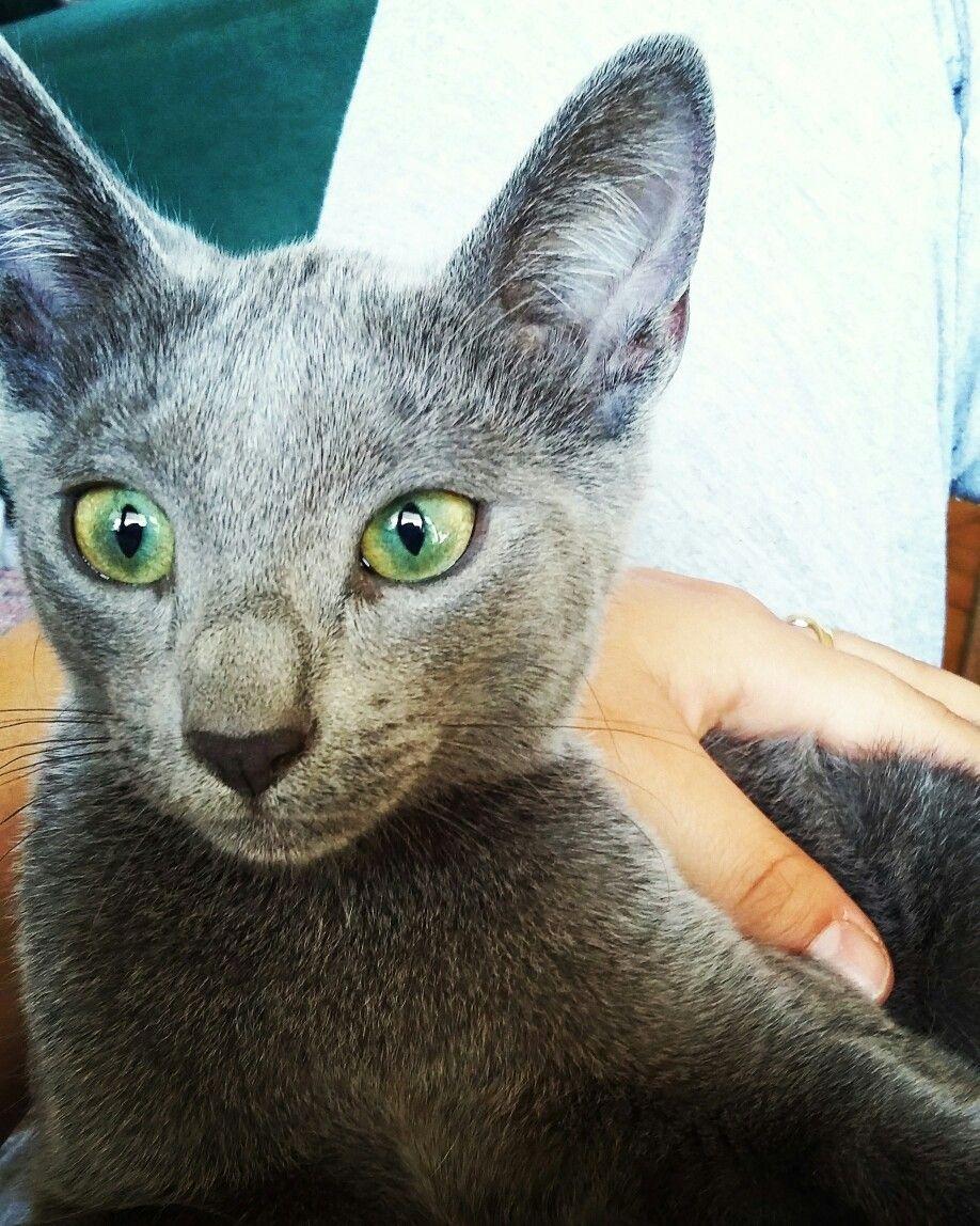 My maca 3 SI SINA SHEPA cattery Email sinashepa catlover