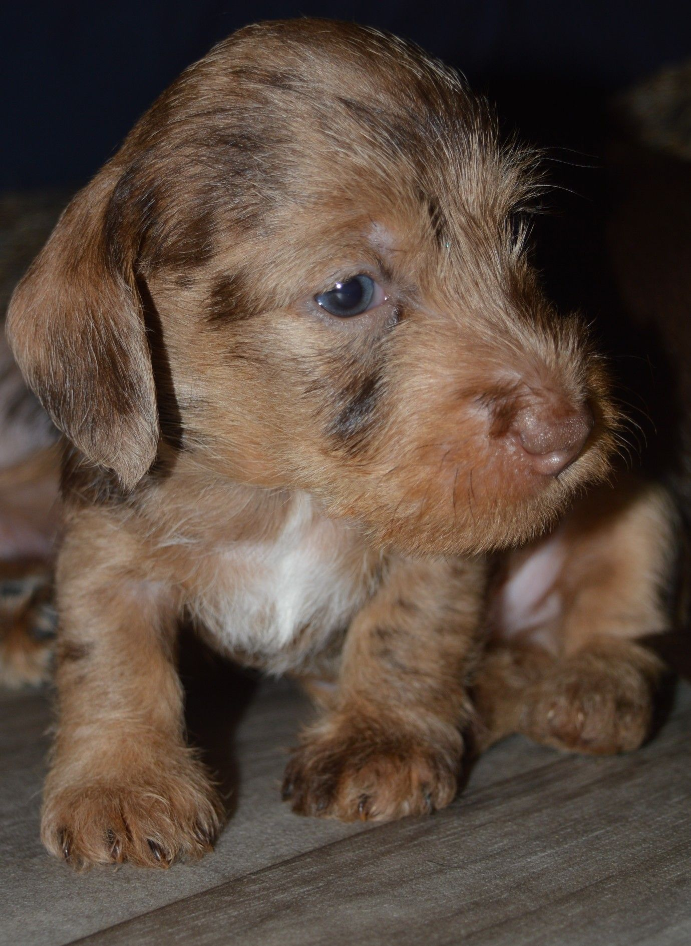 Puppy for sale in 2020 Puppies, Cute baby animals