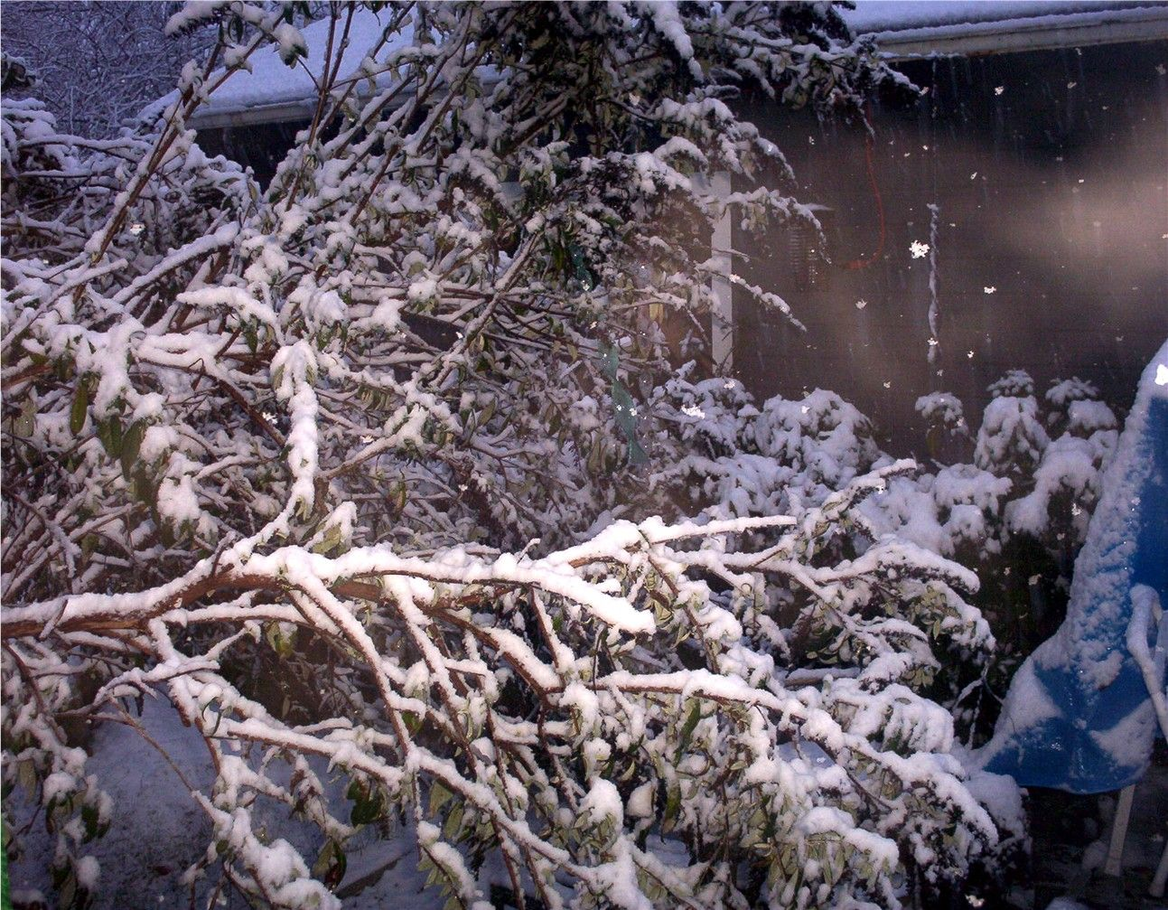 Eugene, Or Too much snow on one of our butterfly bushes and it broke and toppled over.