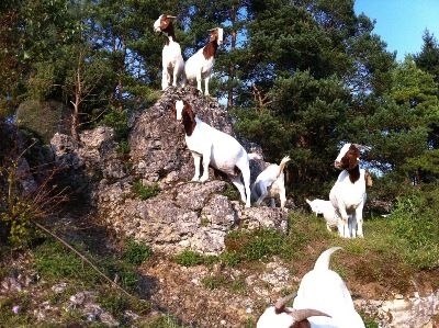 #goatvet likes this photo of Bier goats in Europe