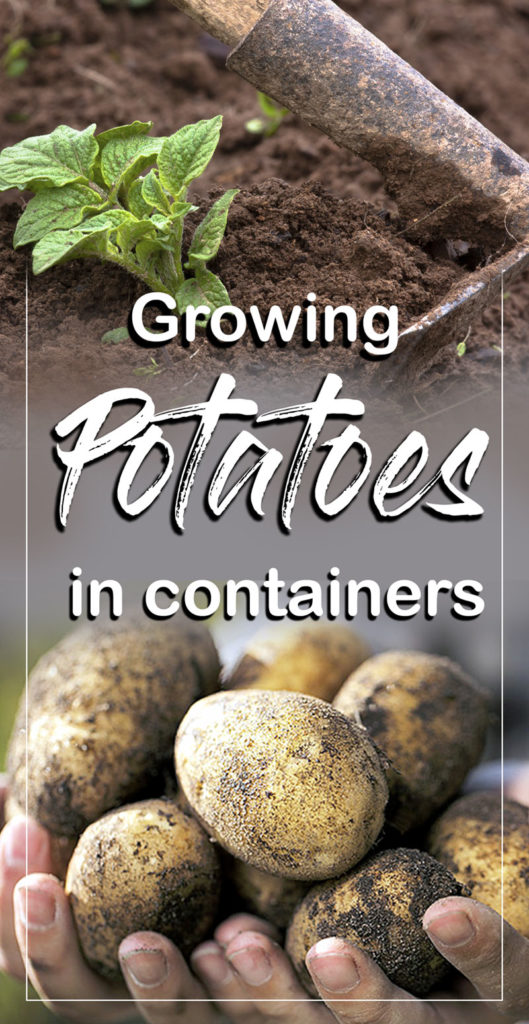 How to Grow Potatoes in a container | Growing Potatoes | Potato plant - NatureBring #growingpotatoes