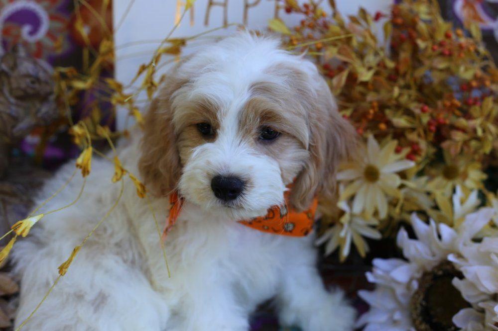 Columbus Oh Border Terrier Shih Tzu Mix Meet Lizzie A Puppy For Adoption Http Www Adoptapet Com Pet 14 Puppy Adoption Border Terrier Terrier Mix Breeds