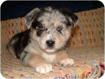 Vienna Adopted Puppy Southern California Ca Australian Siberian Husky Mix Pet Adoption