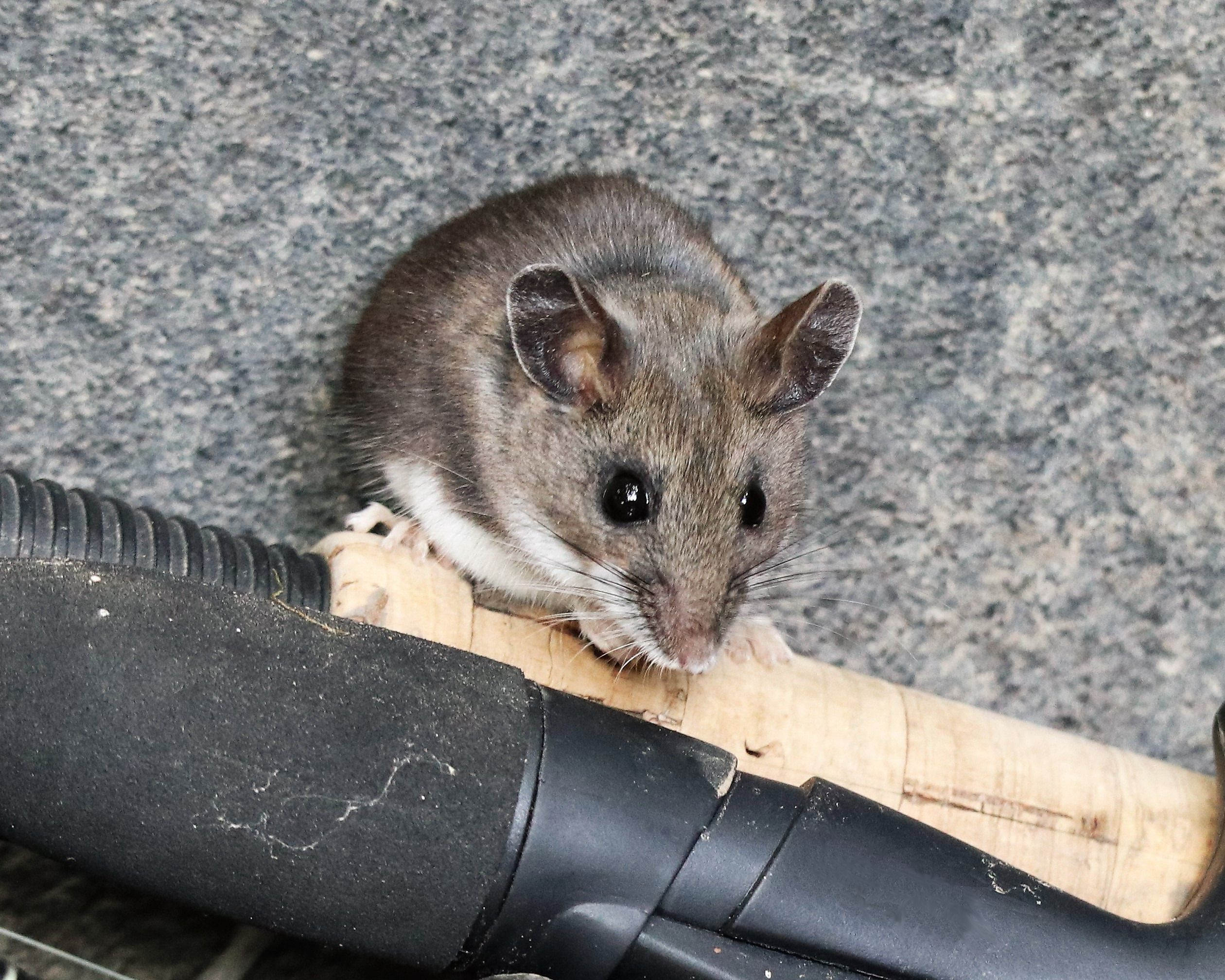North American Deer Mouse The Deer Mouse Peromyscus Maniculatus Is A Small Native Rodent In The Family Muridae With Boreal Forest Habitats North American