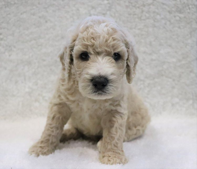 Crockett Doodles Family Raised Doodle Puppies For Sale Felt