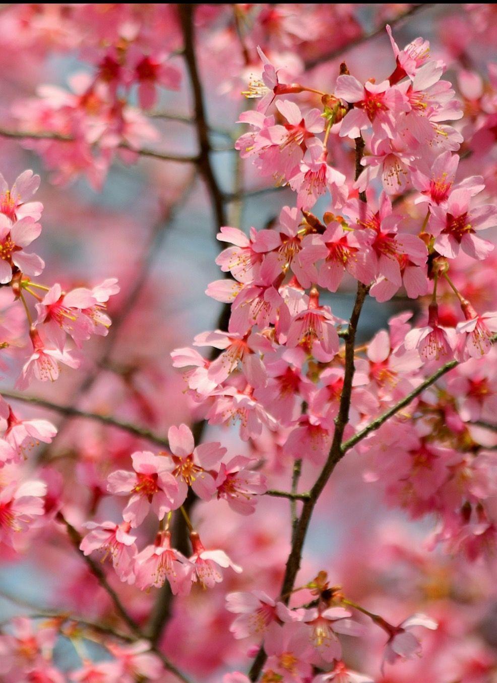 Pink Sakura By Ekaterina Georgieva Photo 128756423 500px Spring Flowers Sakura Cherry Blossom Flowering Trees