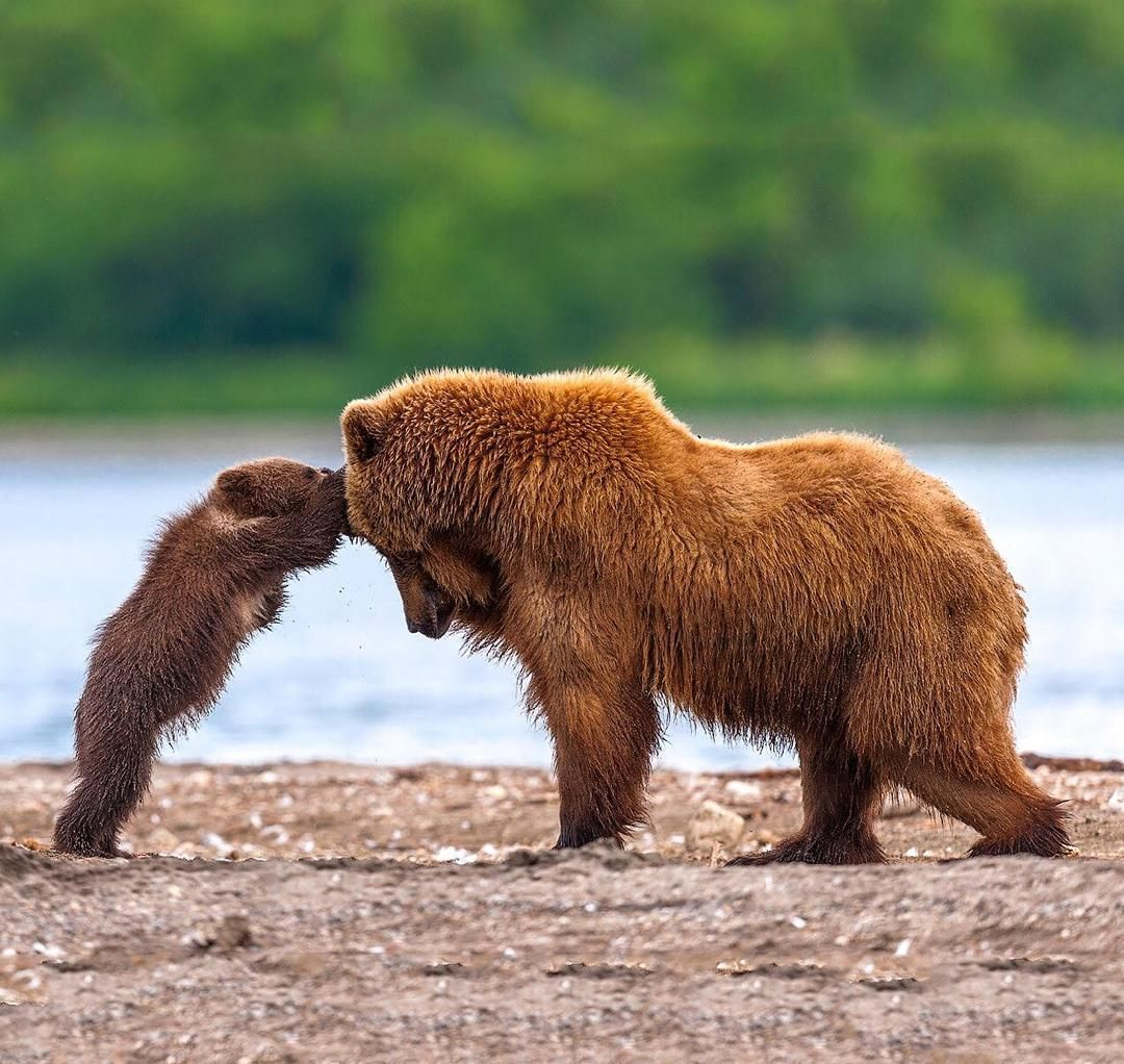 Grizzly Bear Mother And Her Cub Playing. Photo By