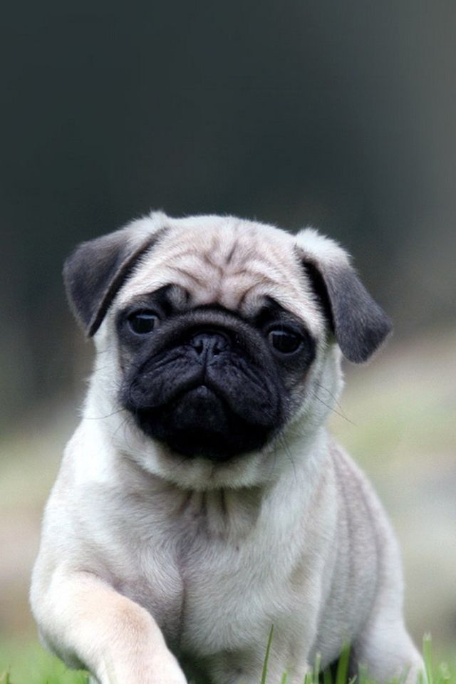 Cute Pug Dog In Grass IPhone 4s Wallpaper