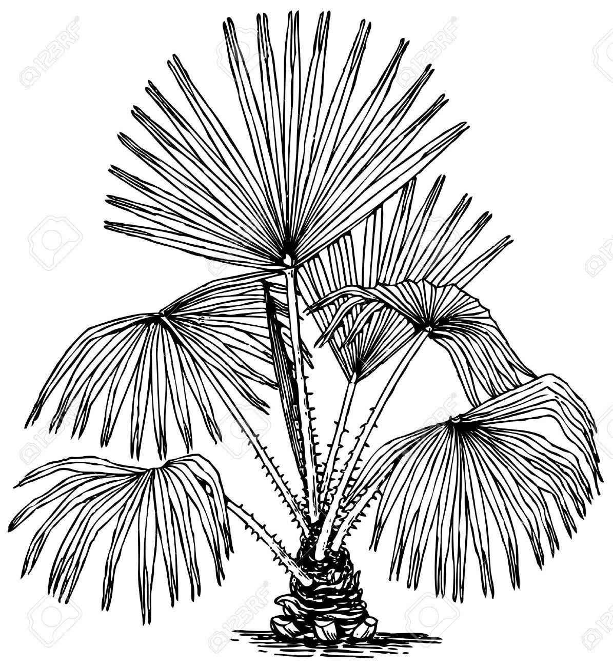Sabal Palm Drawing