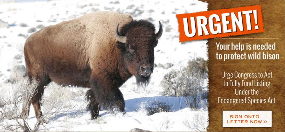 Working in the field every day to stop the slaughter of Yellowstone's wild free roaming buffalo.