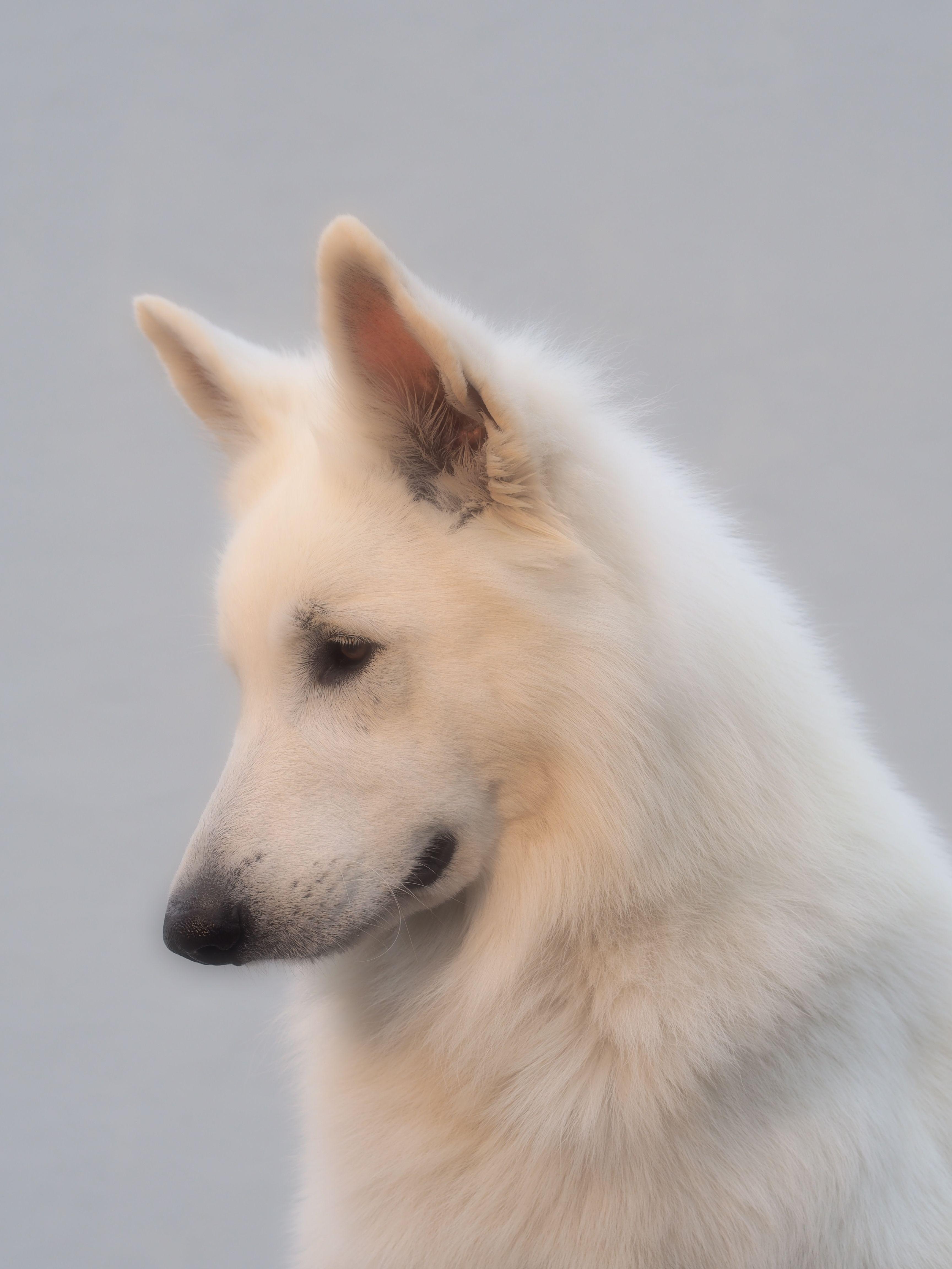 Bandhu Of Shadasa In Soft Focus White German Shepherd German Shepherd Dogs German Shepherd Puppies