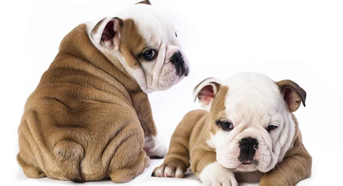 Your Guide to Miniature English Bulldog Puppies