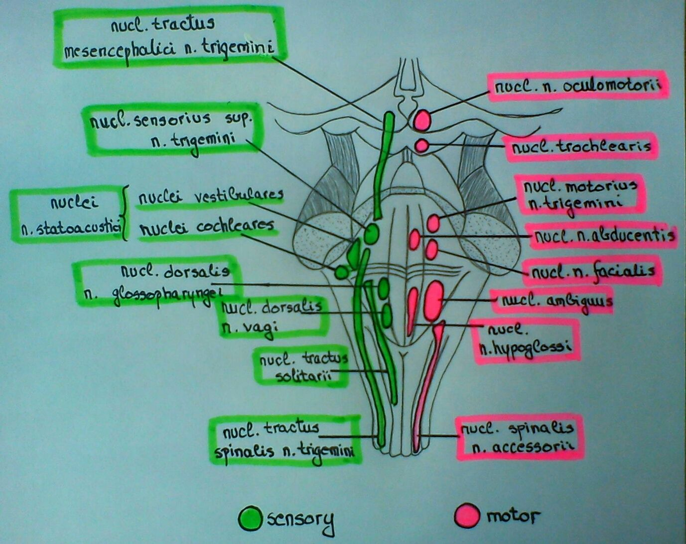 Cranial nerve nuclei in brainstem (schema) (With images ...
