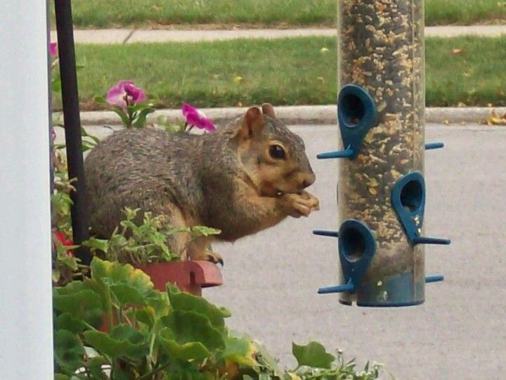 Squirrel digging in.... Dinner is served. Yum! This is too easy!