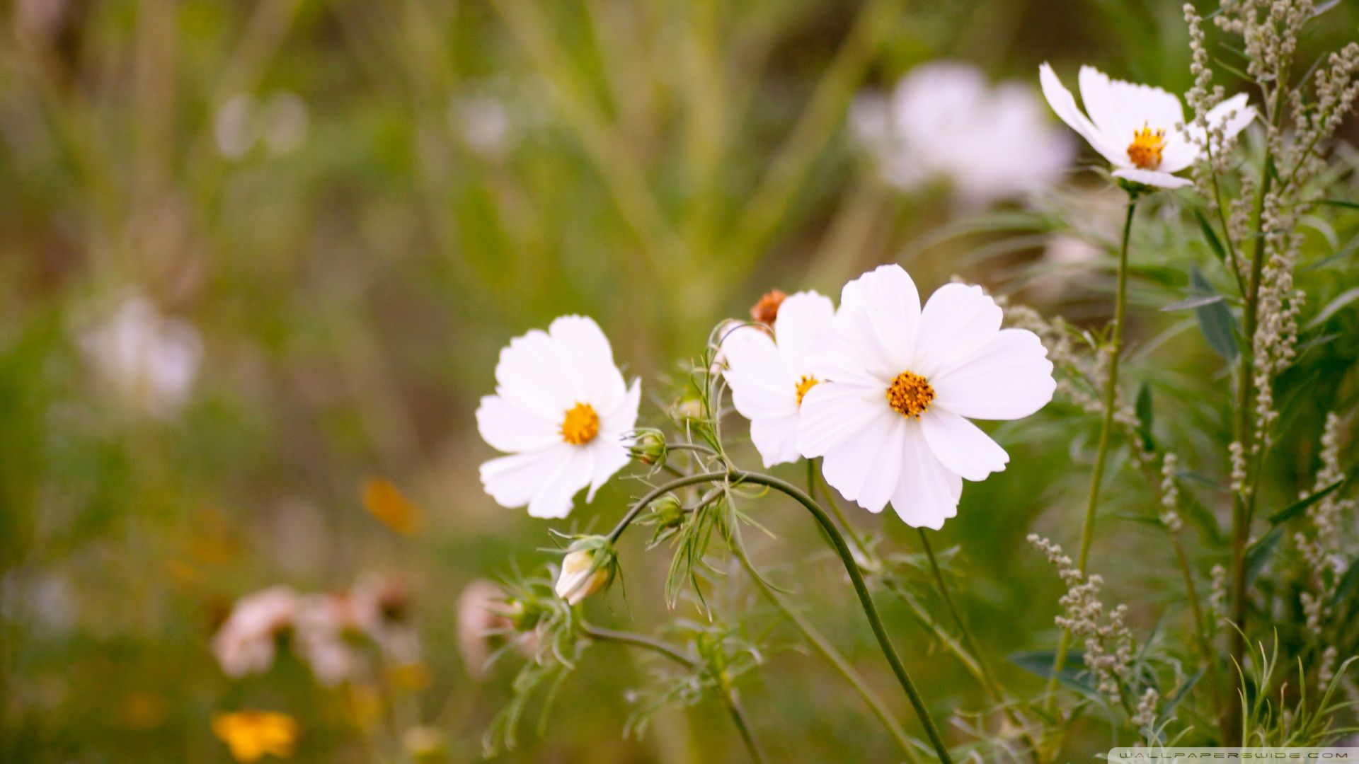 Pin By Beckey Douglas On Cosmos Flowers Cosmos Flowers Ipad Air Wallpaper Flower Branch