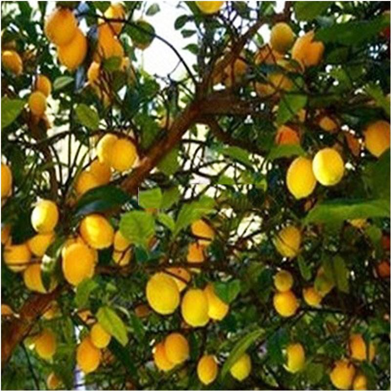 Lime Farming In India Lemon Seeds Grow Avocado Avocado Seed